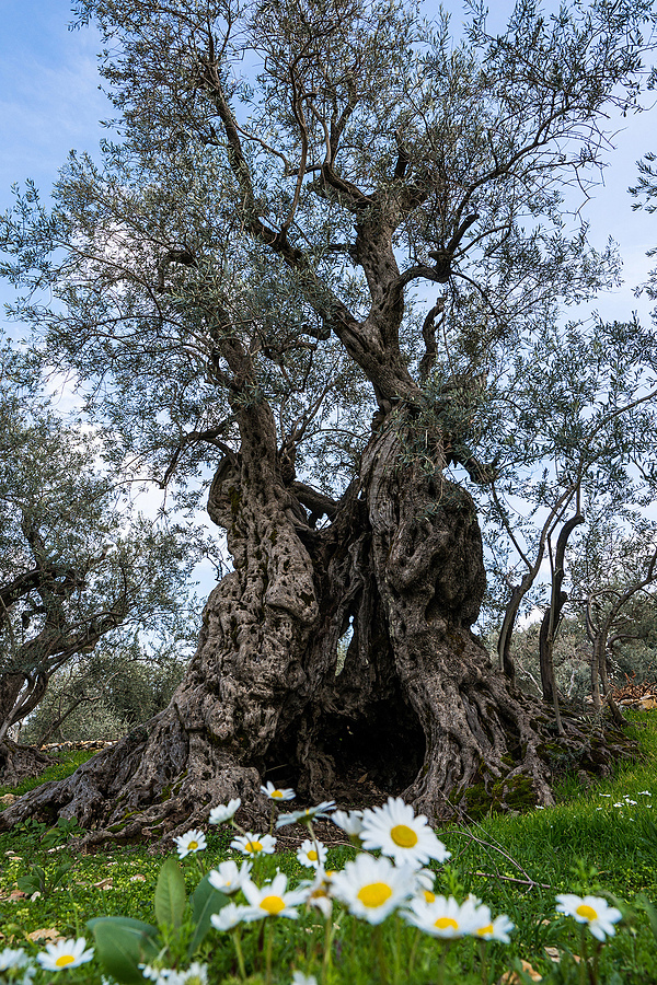 Oldest Olive Tree | ZEISS ZA DISTAGON  24MM F2.0 <br> Click image for more details, Click <b>X</b> on top right of image to close