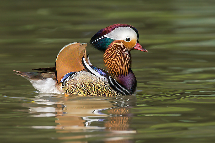 Mandarin Duck (Aix galericulata) | SONY 500MM F/4 G SSM <br> Click image for more details, Click <b>X</b> on top right of image to close