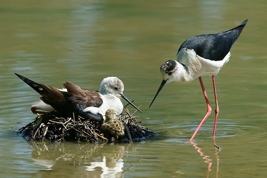 Padre, madre e pulcino di Black-winged stilt (Himantopus himantopus) | SONY 500MM F/4 G SSM <br> Click image for more details, Click <b>X</b> on top right of image to close