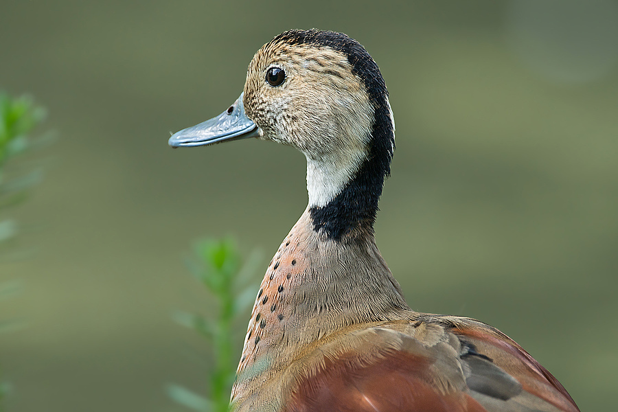 Portrait of (Callonetta leucophrys) | SONY 500MM F/4 G SSM <br> Click image for more details, Click <b>X</b> on top right of image to close
