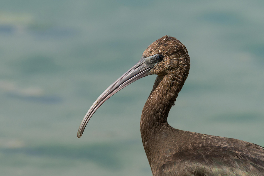 Portrait of Plegadis falcinellus | SONY 500MM F/4 G SSM <br> Click image for more details, Click <b>X</b> on top right of image to close