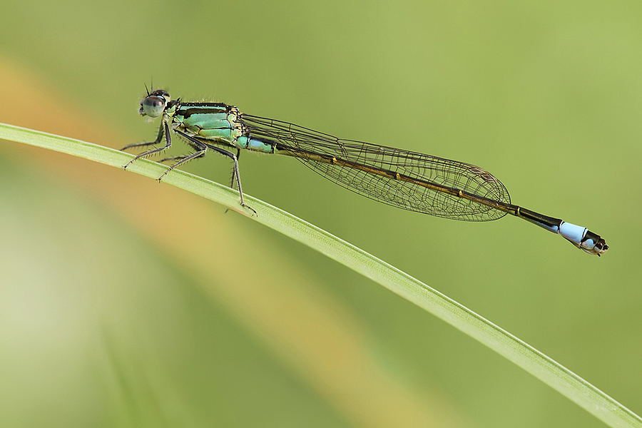 Ischnura elegans | LENS MODEL NOT SET <br> Click image for more details, Click <b>X</b> on top right of image to close