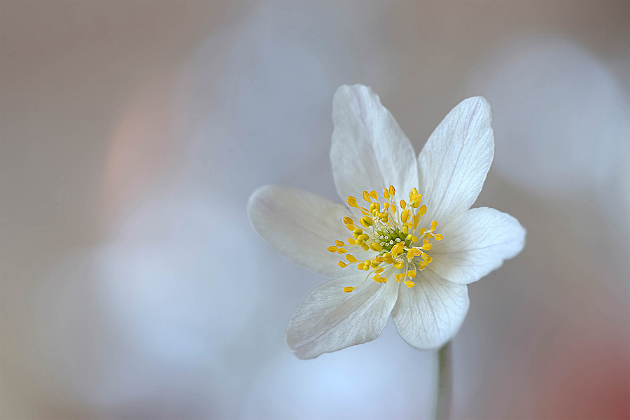 Anemone nemorosa | LENS MODEL NOT SET <br> Click image for more details, Click <b>X</b> on top right of image to close