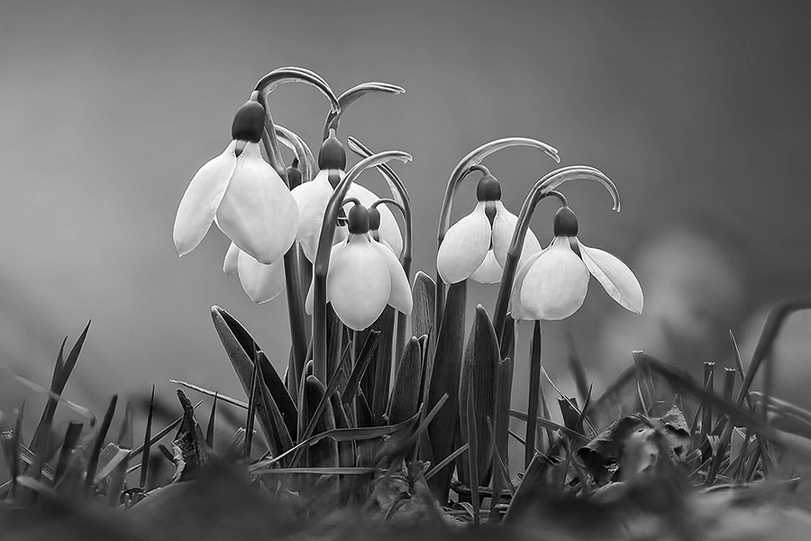 Galanthus nivalis | LENS MODEL NOT SET <br> Click image for more details, Click <b>X</b> on top right of image to close