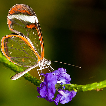 glass wing butterfly | LENS MODEL NOT SET <br> Click image for more details, Click <b>X</b> on top right of image to close