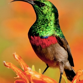 shimmering sunbird | SONY 70-400MM F/4-5.6 G SSM <br> Click image for more details, Click <b>X</b> on top right of image to close