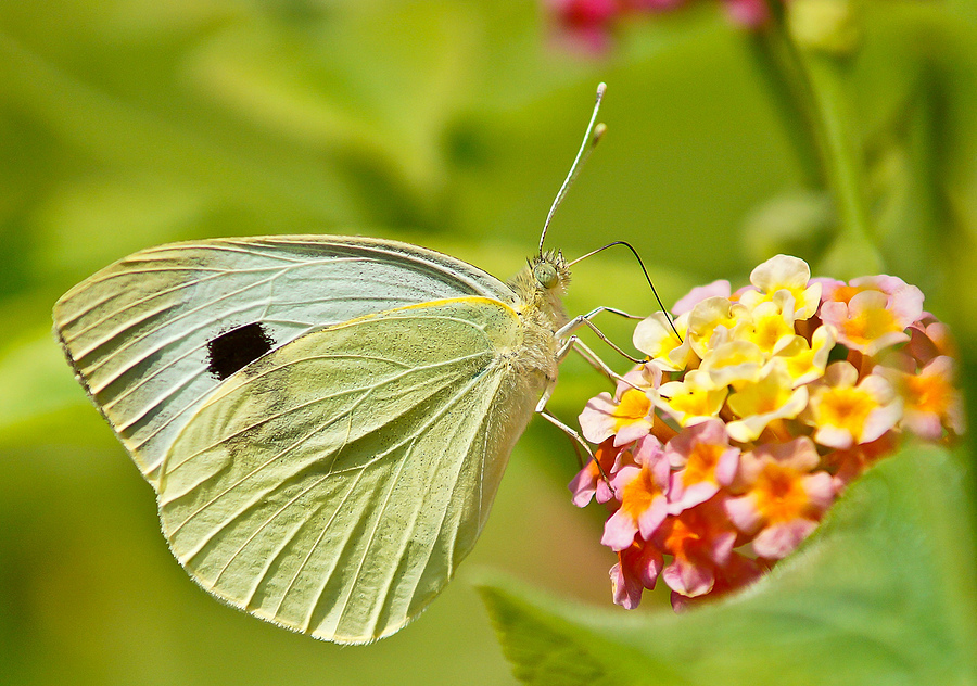 summer butterfly | LENS MODEL NOT SET <br> Click image for more details, Click <b>X</b> on top right of image to close