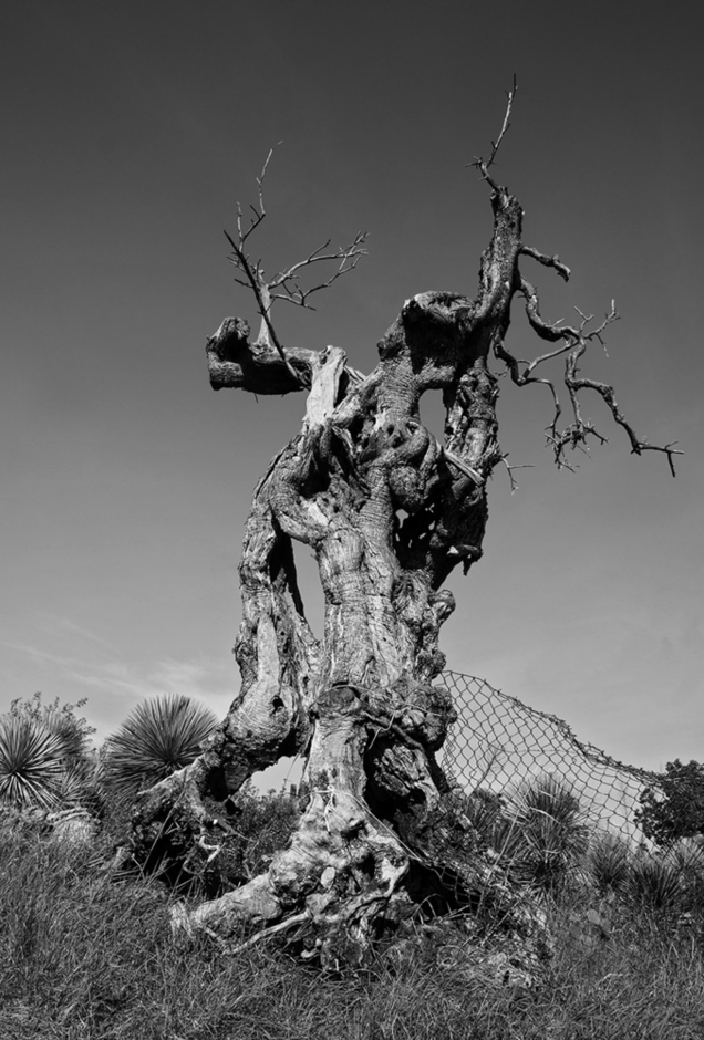 old olive tree | SONY DT 16-105MM F/3.5-5.6 <br> Click image for more details, Click <b>X</b> on top right of image to close