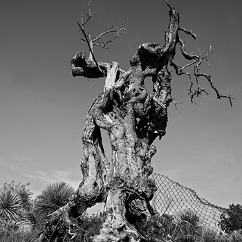 old olive tree | SONY DT 16-105MM F/3.5-5.6