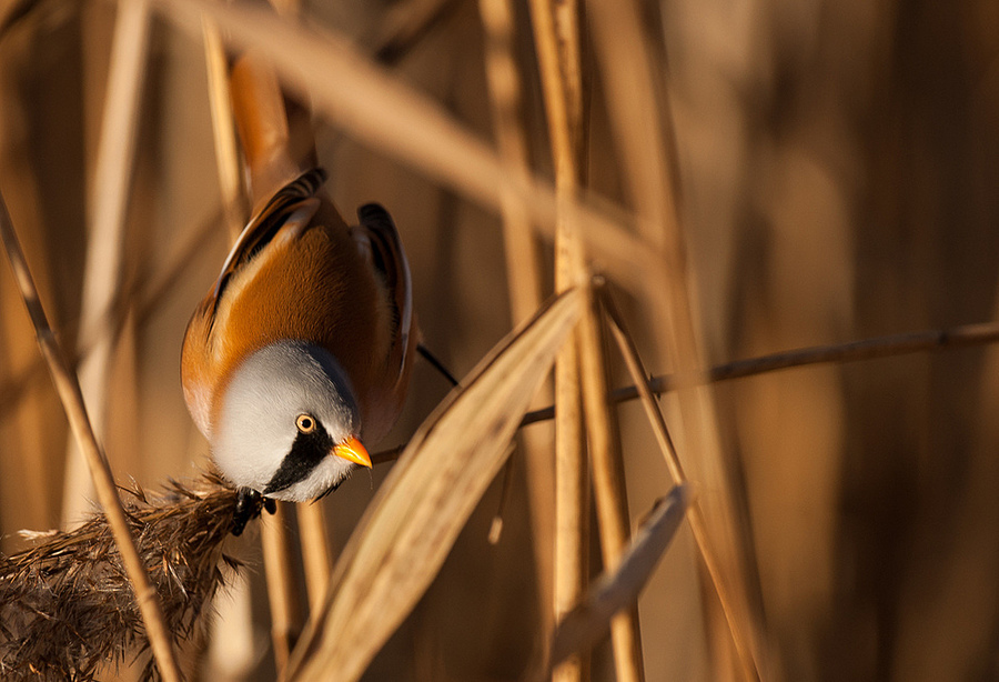 Bearded reedling | SONY 70-400MM F/4-5.6 G SSM <br> Click image for more details, Click <b>X</b> on top right of image to close