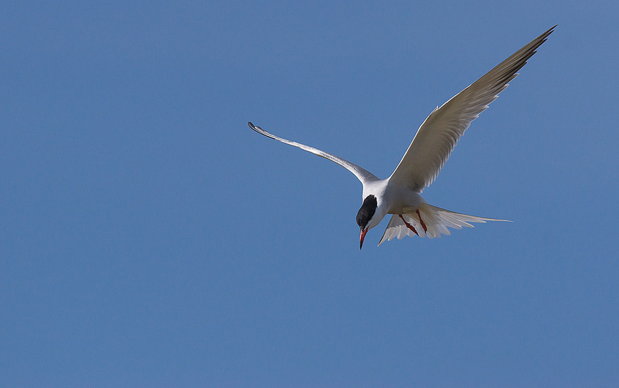 Common tern | SONY 70-400MM F/4-5.6 G SSM <br> Click image for more details, Click <b>X</b> on top right of image to close