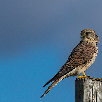Kestrel portrait | SONY 70-400MM F/4-5.6 G SSM <br> Click image for more details, Click <b>X</b> on top right of image to close