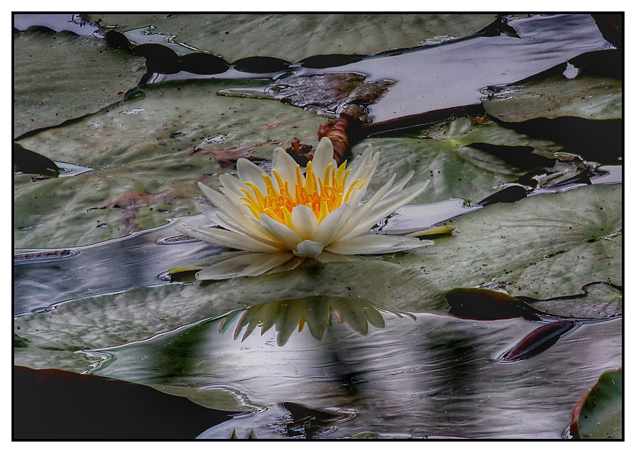 Water Lilly | LENS MODEL NOT SET <br> Click image for more details, Click <b>X</b> on top right of image to close