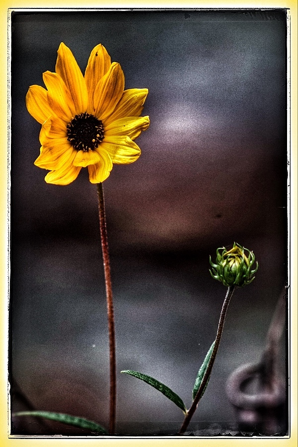 Yellow Flower and Bud | LENS MODEL NOT SET <br> Click image for more details, Click <b>X</b> on top right of image to close