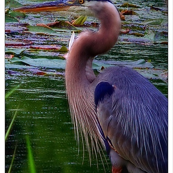 Blue Heron | LENS MODEL NOT SET <br> Click image for more details, Click <b>X</b> on top right of image to close