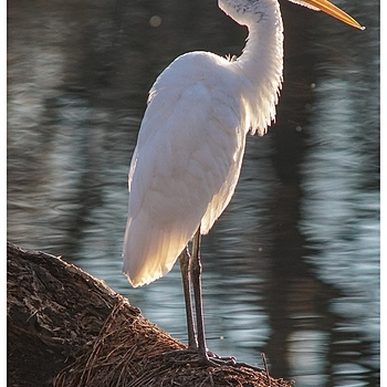 Great Egret | LENS MODEL NOT SET <br> Click image for more details, Click <b>X</b> on top right of image to close