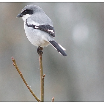 Loggerhead Shrike | LENS MODEL NOT SET <br> Click image for more details, Click <b>X</b> on top right of image to close