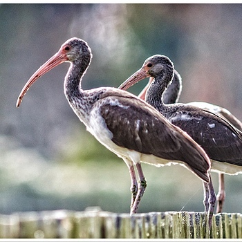 American Ibis | LENS MODEL NOT SET <br> Click image for more details, Click <b>X</b> on top right of image to close