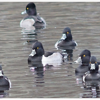 Male Ring Neck Ducks | LENS MODEL NOT SET <br> Click image for more details, Click <b>X</b> on top right of image to close
