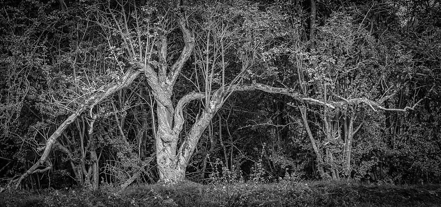Knurled Tree | ZEISS FE 55MM F1.8 ZA <br> Click image for more details, Click <b>X</b> on top right of image to close