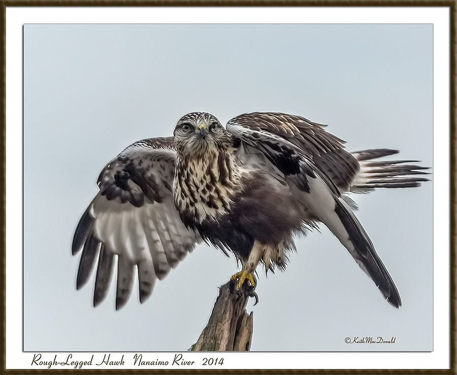 Rough-Legged Hawk | LENS MODEL NOT SET <br> Click image for more details, Click <b>X</b> on top right of image to close