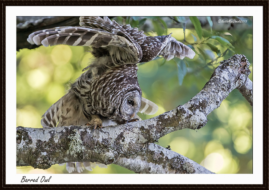 Barred Owl | LENS MODEL NOT SET <br> Click image for more details, Click <b>X</b> on top right of image to close