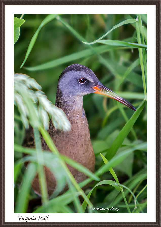 Virginia Rail | LENS MODEL NOT SET <br> Click image for more details, Click <b>X</b> on top right of image to close