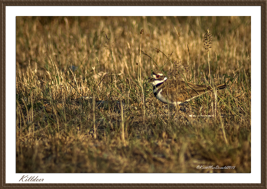 Killdeer | LENS MODEL NOT SET <br> Click image for more details, Click <b>X</b> on top right of image to close