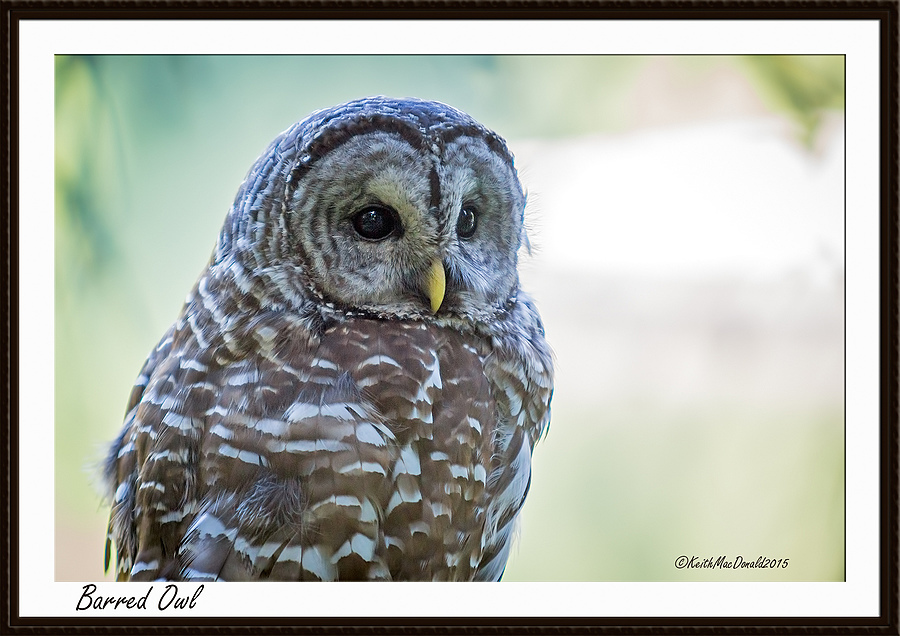 Barred Owl Portrait | LENS MODEL NOT SET <br> Click image for more details, Click <b>X</b> on top right of image to close