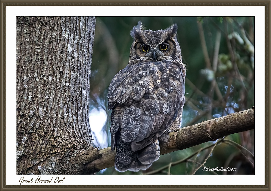 Great Horned Owl | LENS MODEL NOT SET <br> Click image for more details, Click <b>X</b> on top right of image to close
