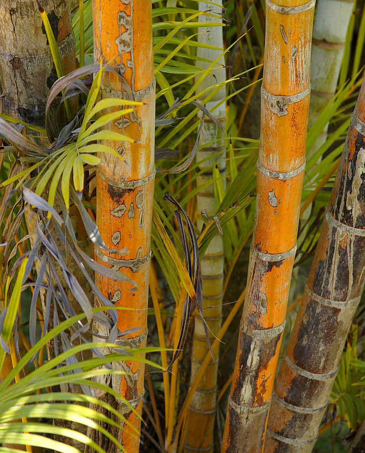 Bamboo Study | LENS MODEL NOT SET <br> Click image for more details, Click <b>X</b> on top right of image to close